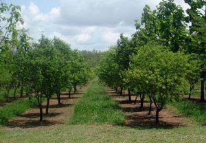 Smartelix-sandalwood-plantation